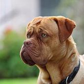 Dogue — Stock Photo