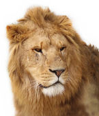 Lion — Stock Photo