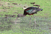 Ibis — Foto Stock