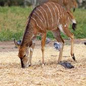 Kudu — Foto Stock