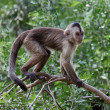 Capuchin monkey — Stockfoto