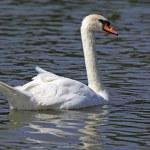 Beautiful white swan — Stock Photo #26380767