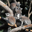 Lemurs — Stock Photo
