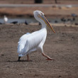 White pelican — Stock Photo #26385707