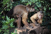 Capuchin monkeys — Stock Photo