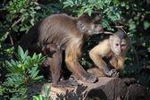Capuchin monkeys — Stock Photo