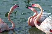 Flamingos — Fotografia Stock