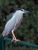 Black-crowned Night Heron — Stock Photo