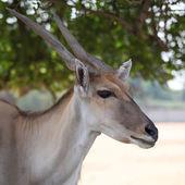 Large antelope — Stock Photo