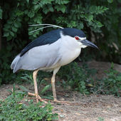 Nycticorax — Stock Photo