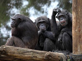 Chimpanzee family — Stock Photo