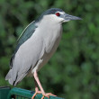 Stock Photo: Nycticorax