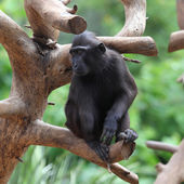 Black Macaque — Stock Photo