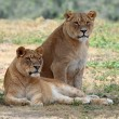 Stock Photo: Two lionesses