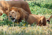 Male lion — Stock Photo