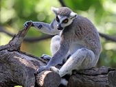 Lemur in zoo — Stock Photo