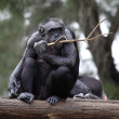 Chimpanzee in Zoo — Stock Photo
