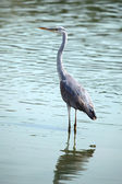 Blue Heron — Foto Stock