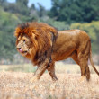 Stock Photo: Lion