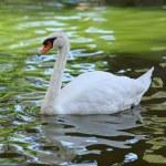 Swan — Stock Photo #32678759