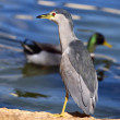 Stock Photo: Night-Heron