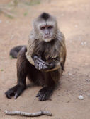 Capuchin — Стоковое фото