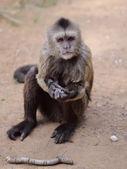 Capuchin — Foto Stock