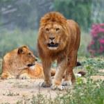 Lion's — Stock Photo #33701611