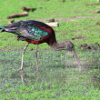 Stock Photo: Glossy Ibis