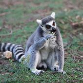 Lemur — Stockfoto