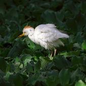 Bubulcus ibis — Stock Photo