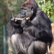 Male silverback gorilla — Stock Photo #38553435