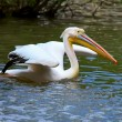 Stock Photo: Great White Pelican