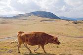 Krów na pastwiskach alpejskich — Zdjęcie stockowe