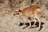 Nara-hirsch — Stockfoto