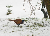 Colorful pheasant in winter scenery — Stock Photo