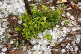 Big ice balls hail in the forest with cowberry — Stock Photo