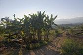Small organic banana plantation in Thailand — Stock Photo