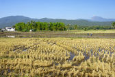Rice fields during harvest — Stock Photo