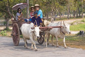 Traditional wagon ride pulled by oxen — Stock Photo