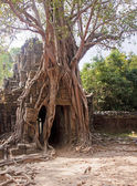 Tree entwining the entrance to the temple — Foto Stock