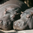 Hippo pair sleeping — Stock Photo