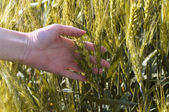 Hand in a wheat field — Stock Photo