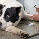 medico veterinario facendo un checkup — Foto Stock #13722106
