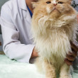 Wounded cat treated by veterinarian — Stock Photo