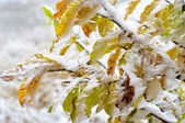 Kleurrijke bladeren van de boom bedekt met sneeuw — Stockfoto