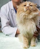 負傷した猫は獣医によって扱われる — ストック写真