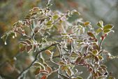 Colorful leaves of the tree covered with snow. soft focus — Stock Photo