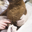 Veterinarian taking blood sample from cat — Photo