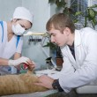 Wounded cat treated by veterinarians - Stock Photo